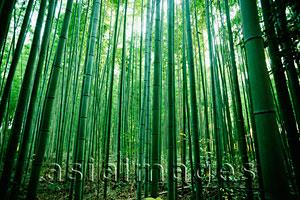 Asia Images Group - light streaming through bamboo forest